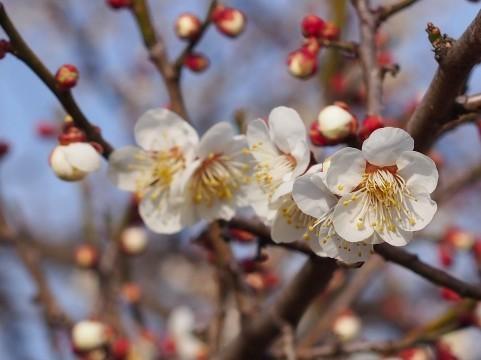 春の花002